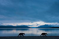 Brown bears walk along the shores of Naknek lake in predawn light, Katmai National Park, southwest, Alaska.