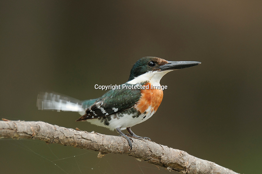 A male green kingfisher wags his tail on an overcast day.