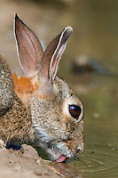 673280024 a wild desert cottontail rabbit sylvilagus audibonii drinks from a small pond in the rio grande valley of south texas