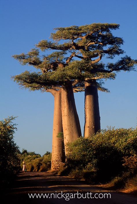 Grandidier's Baobabs (Adansonia grandidieri)  and woman carrying water. Near Morondava, west Madagascar