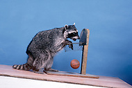 California, Los Angeles, 1982. American animal trainer Moe Di Sesso transforming the most diverse animals into cinema stars. Among his successes, the famous German Shepherd, Rin Tin Tin. Photo of a racoon playing basketball and piano. He died in Newhall, CA at age 83.