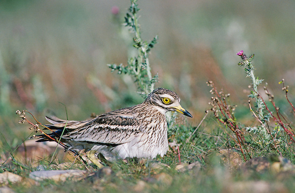 Eurasian Thick-Knee, Burhinus oedicnemus, adult on nest, Crau, France, Europe