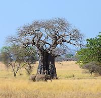 African Elephant (Loxodonta africana) Serengeti Tanzania Africa
