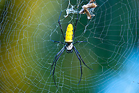 Nephilas are the largest of orb-weaving spiders. The females can have a body up to 2 inches long with legs that span up to 6 inches. The male however are much smaller, usually about 1/3 inch in body length. The N. antipodiana female is distinguished from other species of Nephila by the yellow spotted abdomen. Similar to N. pilipes, the web is large and has some slight golden stain.