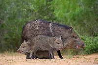 650520298 wild javelinas or collared peccaries dicolytes tajacu forage near a waterhole on santa clara ranch in starr county rio grande valley texas united states