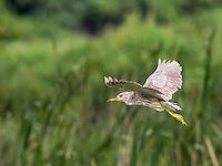 Juvenile Black-Crowned night Heron in flight against green vegetation background
