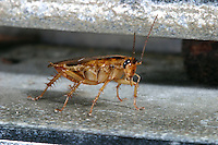 Deutsche Schabe, Hausschabe, Küchenschabe, Kakerlake, Blattella germanica, German cockroach, Vorratsschädling
