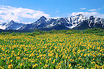 Sunflowers and the Sneffels Range, San Juan Mountains, Colorado, USA. John guides custom photo tours in the Sneffels Range and throughout Colorado.