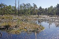 Moor, Sumpf in Nord-Deutschland, Moorlandschaft, Bruchwald, Moorweiher, Moortümpel mit Wollgras, Eriophorum spec., Cotton Grass
