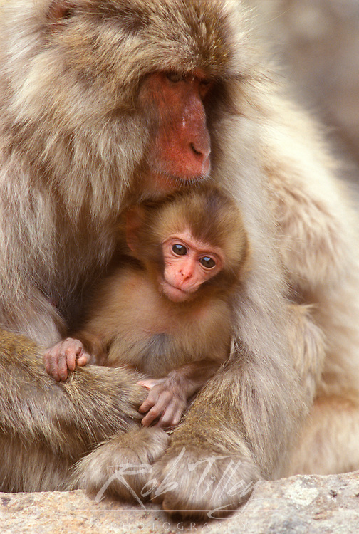 Japan, Nagano, Jigokudani, Snow Monkey Mother & Baby, Japanese Macaque, (Macaca fuscata)
