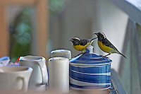 Cocos Hotel, Jolly Harbour. Birds stealing sugar and crumbs from breakfast table.