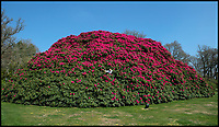 BNPS.co.uk (01202 558833)<br /> Pic:  PhilYeomans/BNPS<br /> <br /> Head gardener Paul Collins in the enormous Rhody.<br /> <br /> Shrubzilla - Britain's biggest rhododendron bush has burst into flower early after ideal conditions have produced a stunning display.<br /> <br /> The majestic shrub, that measures 120ft long and 50ft high, is within the gardens of the exclusive South Lodge Hotel in Horsham, West Sussex.<br /> <br /> And head gardener Paul Collins is going to need a bigger set of shears to prune the mountainous shrub that is actually native to the Himalayas.<br /> <br /> The plant is currently covered in hundreds of vibrant purple flowers having benefited from a mild winter that was boosted by a wet February.<br /> <br /> The rhododendron - Rhododendron arboreum Smithii in Latin - was planted more than 120 years ago by Victorian explorer Frederick Du Cane Godman.