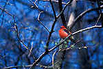 Scarlet tanager Piranga olivacea migratory song bird