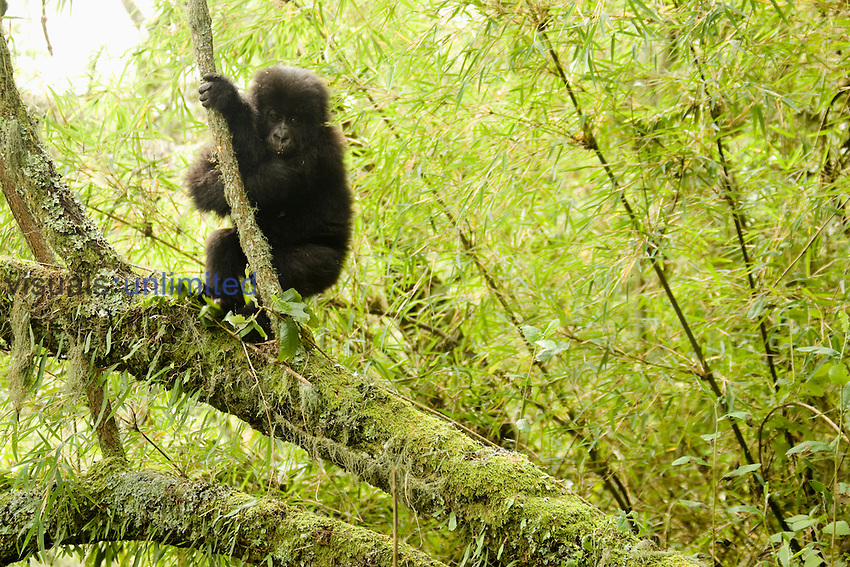 Young Mountain Gorilla (Gorilla beringei beringei) in vegetation of Volcanoes National Park, Rwanda.