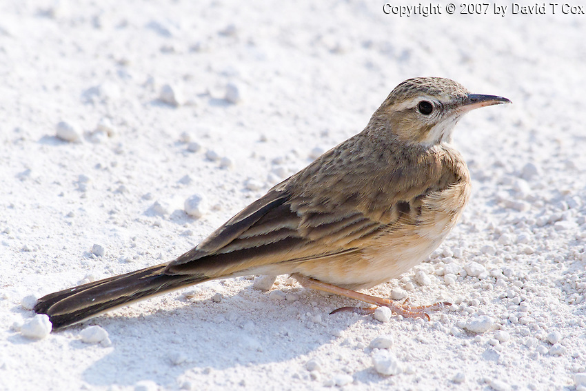 Long-Billed Lark, Etosha National Park, Namibia
