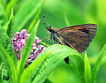Butterfly, seen in the Esopus Bend Nature Preserve, in Saugerties, NY, on Friday, July 28, 2017. Photo by Jim Peppler. Copyright/Jim Peppler-2017.