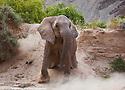 Namibia;  Namib Desert, Skeleton Coast,  desert elephant (Loxodonta africana) sliding down sand bank
