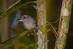 Black-crowned Antshrike<br /> (Thamnophilus atrinucha) male, Mamoni Valley, Panama