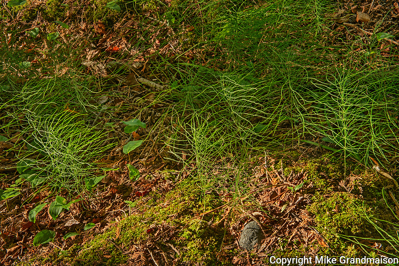 Horsetails (Equisetum sp) on forest floor<br />
