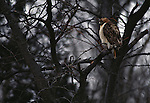 Red-tailed hawk perches in the branches of a tree on the Platte River in Nebraska.