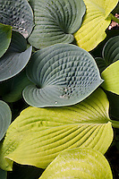 Hosta (Tardiana Group) 'Blue Danube'  (top) with Hosta 'Aztec Treasure'  (bottom)
