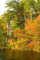 Stand of birch and a variety of trees in the fall on Sand Lake.  Cumberland Wisconsin USA
