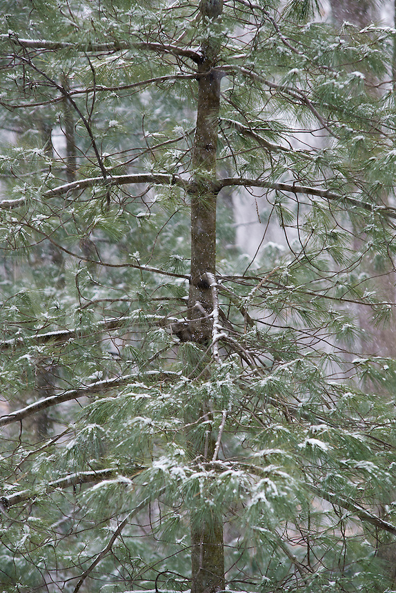 Snow cover evergreen tree, New Jersey, USA
