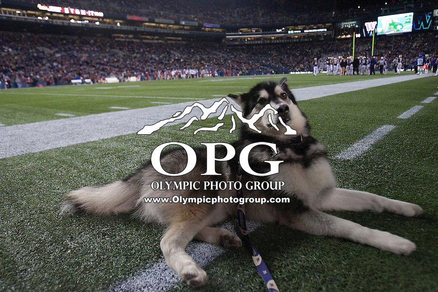 Nov  26, 2011:  The Washington Huskies mascot sits on the field during the game against Washington State.  Washington defeated Washington State 38-21at Century Link Stadium in Seattle, Washington...