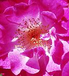 A Summer Rose Garden