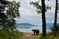 Brown bear along the shore of Naknek lake, Katmai National Park, Alaska.