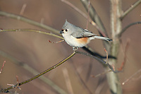 Tufted Titmouse (Baeolophus bicolor) in New York City's Central Park.