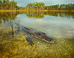 Alligator, Everglades National Park, Florida