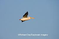 00671-009.13 American White Pelican (Pelecanus erythrorhynchos) in flight  Riverlands Environmental Demonstration Area,  MO
