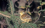 Spruce Grouse chick (Dendragapus canadensis), Alaska, USA.