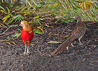 Golden Pheasant or Chinese Pheasant (Chrysolophus pictus)cock with female, Whitewell, Lancashire.