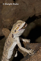 1R15-516z  Bearded Dragon eating insect prey, Popona vitticeps, Amphibolorus vitticeps