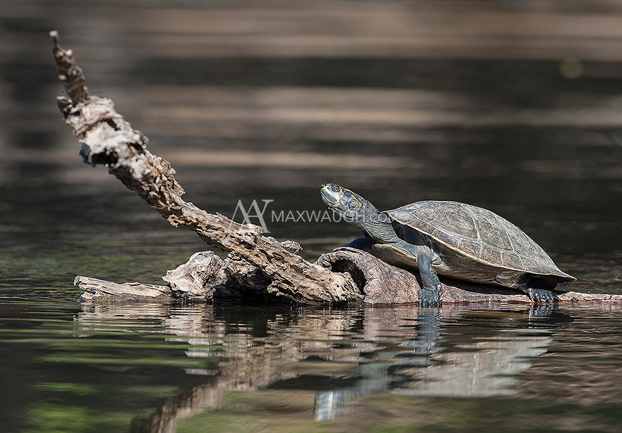 We saw a few of these turtles along the Cristalino River.