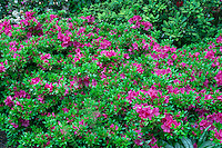 ORPTC_D217 - USA, Oregon, Portland, Crystal Springs Rhododendron Garden, Pink blossoms of azaleas in bloom.
