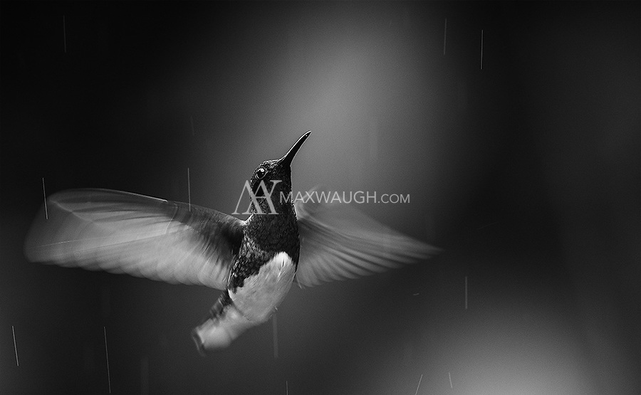 A White-necked jacobin flying in the rain.