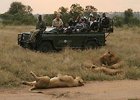 A safari jeep gets up close and personal with a pride of male African lions on the Sabi Sabi Private Game Reserve in Mpumalanga Province, South Africa. Photo by Matt May