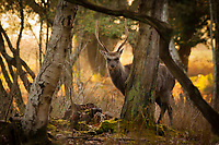 Sika stag (Cervus nippon) in the woods at sunset. Arne, Dorset, UK.