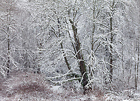 Trees in Winter Snow, Soos Creek Park, Kent, Washington, USA.