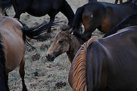 "A young foal loses his baby coat of fur on his face in early summer at the WIld Horse Sanctuary.<br /> <br /> Dianne Nelson has saved mustangs on a ranch in northern California.  ""It was in 1978 that the Wild Horse Sanctuary founders rounded up almost 300 wild horses for the Forest Service in Modoc County, California. Of those 300, 80 were found to be un-adoptable and were scheduled to be destroyed at a government holding facility near Tule Lake, California. <br /> <br /> The Sanctuary is located near Shingletown, California on 5,000 acres of lush lava rock-strewn mountain meadow and forest land. Black Butte is to the west and towering Mt. Lassen is to the east. <br /> Their goals:<br /> Increase public awareness of the genetic, biological, and social value of America's wild horses through pack trips on the sanctuary, publications, mass media, and public outreach programs.<br /> Continue to develop a working, replicable model for the proper and responsible management of wild horses in their natural habitat.<br /> Demonstrate that wild horses can co-exist on the open range in ecological balance with many diverse species of wildlife, including black bear, bobcat, mountain lion, wild turkeys, badger, and gray fox.<br /> Collaborate with research projects in order to document the intricate and unique social structure, biology, reversible fertility control, and native intelligence of the wild horse."