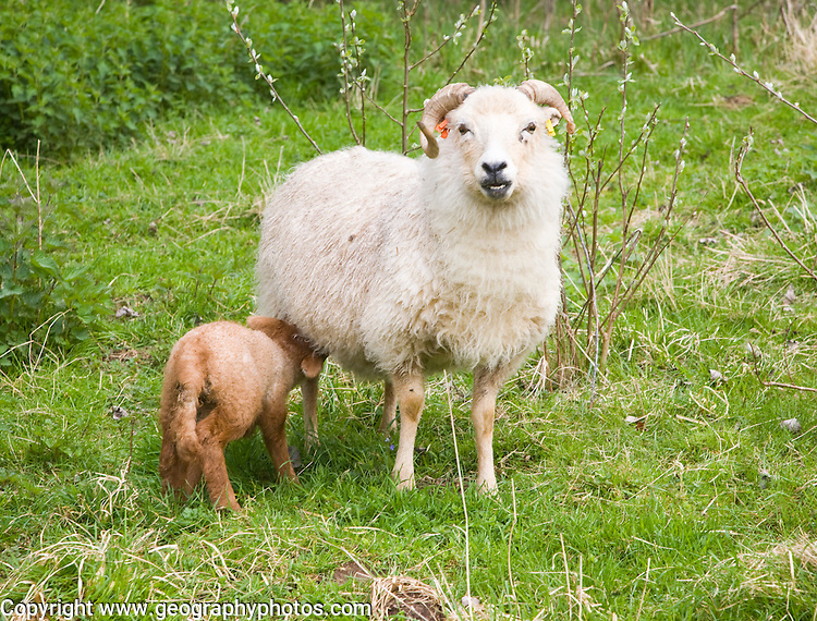 Lamb feeding from mother sheep in field, Suffolk, England