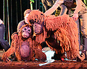 Regent's Park Open Air Theatre presents RUNNING WILD, by Michael Morpurgo, in an adaptation by Samuel Adamson. the production is directed by Timothy Sheader and Dale Rooks, design is by Paul Wills and lighting design by Paul Anderson. Picture shows: The Orangutans