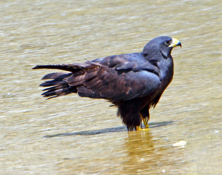 Zone-tailed hawk in Colorado River