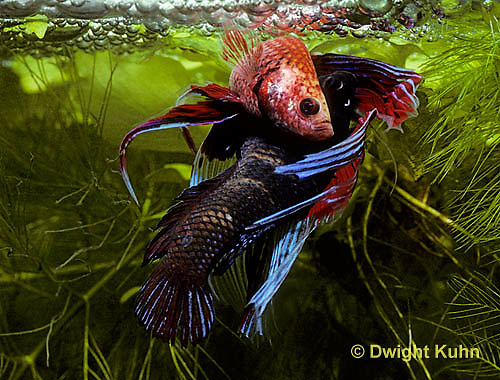 BY05-034z  Siamese Fighting Fish - male mating with egg laden female - Betta splendens