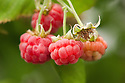 Raspberry 'Ruby Beauty', shortlisted for Plant of the Year at the RHS Chelsea Flower Show, 2015.