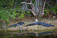Alligators in Turner River, Everglades, Florida, United States of America