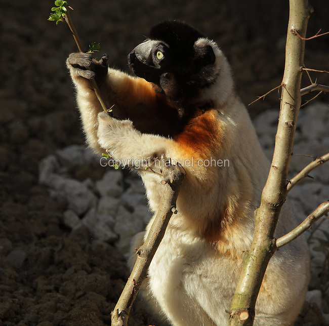 Crowned sifaka (Propithecus coronatus) holding a branch, an endangered species of the lemur family from Madagascar, in the Propithecus enclosure in the Zone Madagascar of the new Parc Zoologique de Paris or Zoo de Vincennes, (Zoological Gardens of Paris or Vincennes Zoo), which reopened April 2014, part of the Musee National d'Histoire Naturelle (National Museum of Natural History), 12th arrondissement, Paris, France. Picture by Manuel Cohen